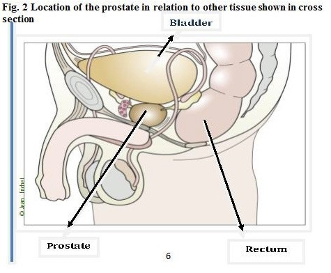 location of prostate